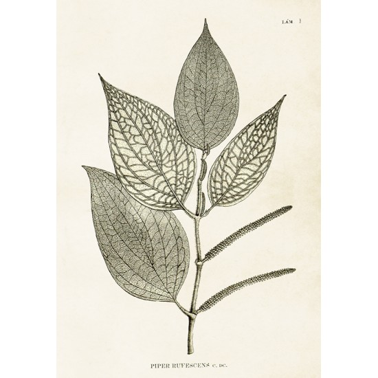 Vintage Plakat med Peberkorns plante 35 x 50 cm